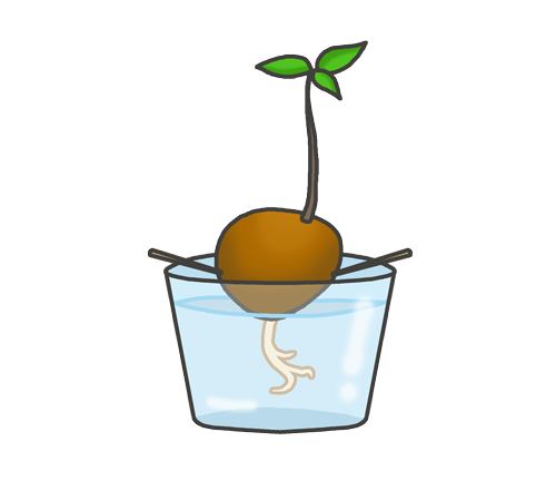 アボカドの水栽培のイラスト